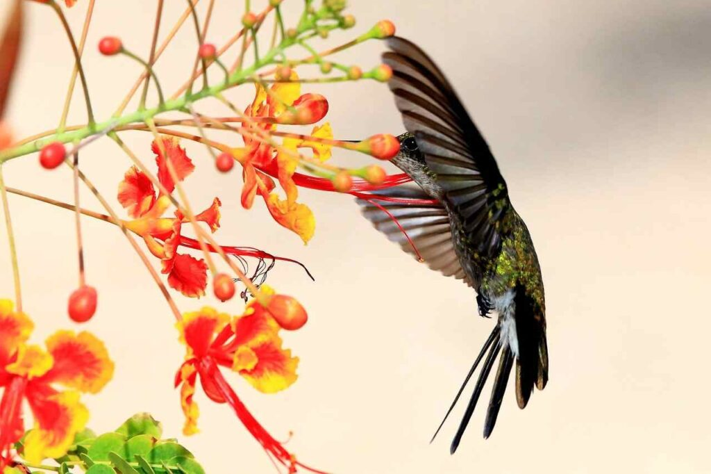 cuban-hummingbird