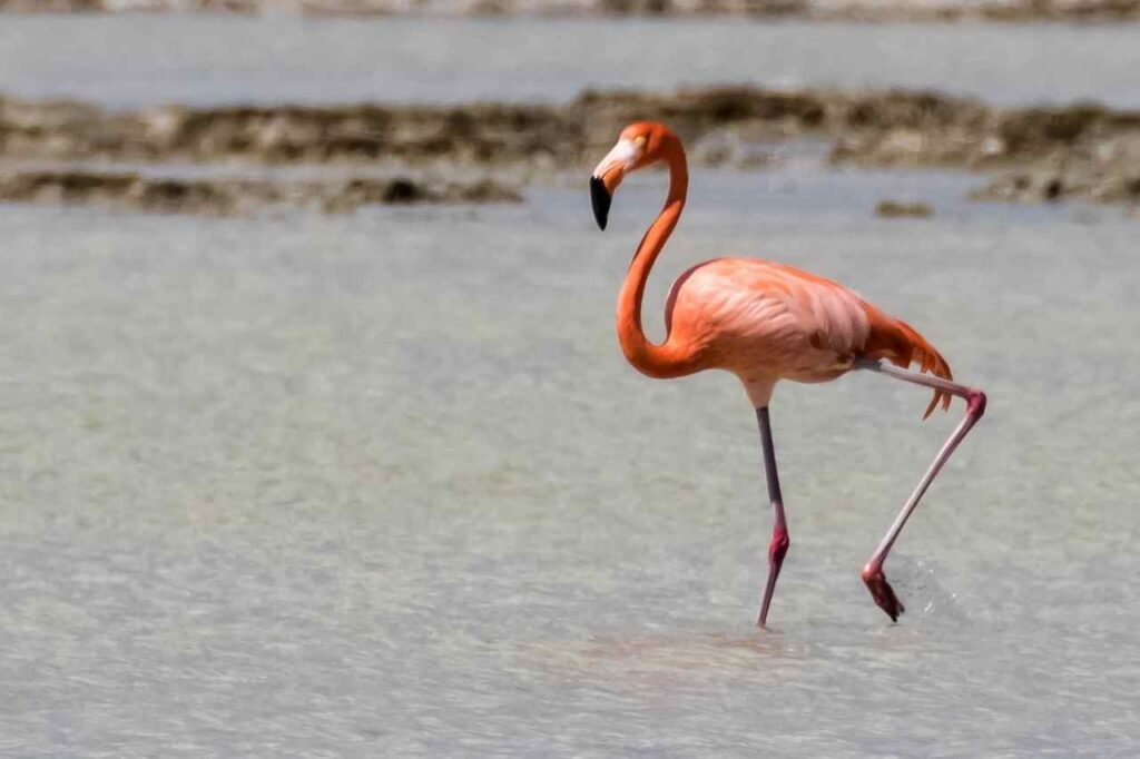 cuban-flamingo